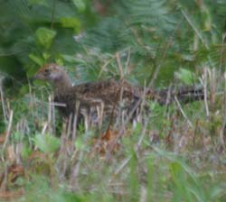 Sooty Grouse (juv)