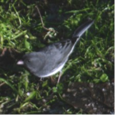 Dark-eyed (Slate-colored) Junco