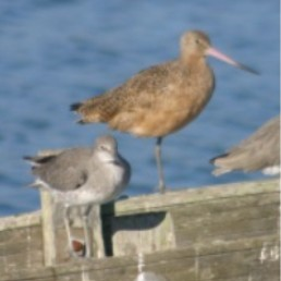 Marbled Godwit/Willet