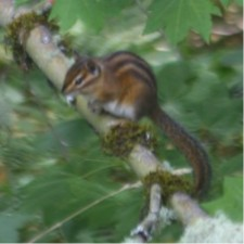 Townsend Chipmunk